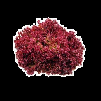 Lettuce Lollo Rosso